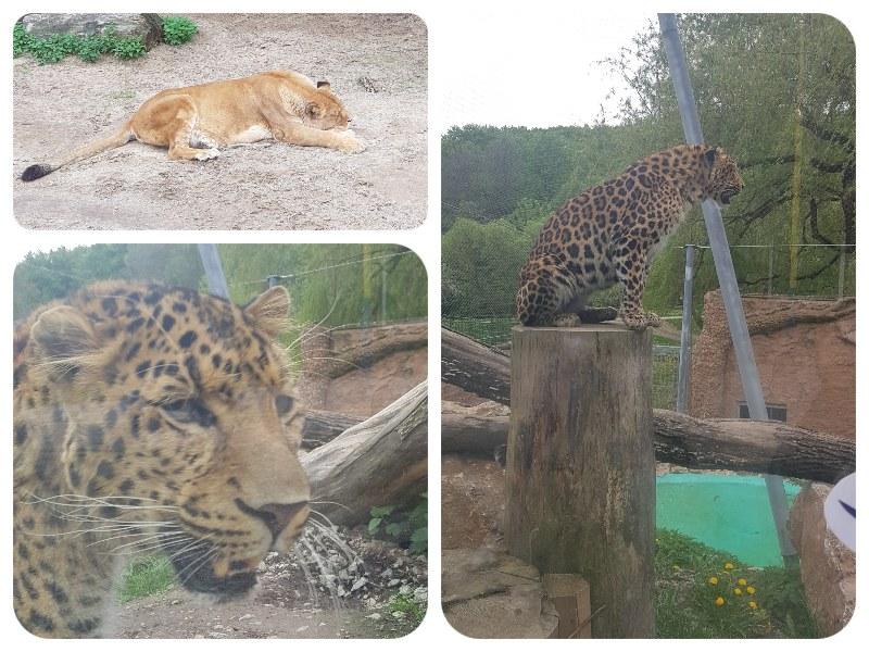 lev_leopard